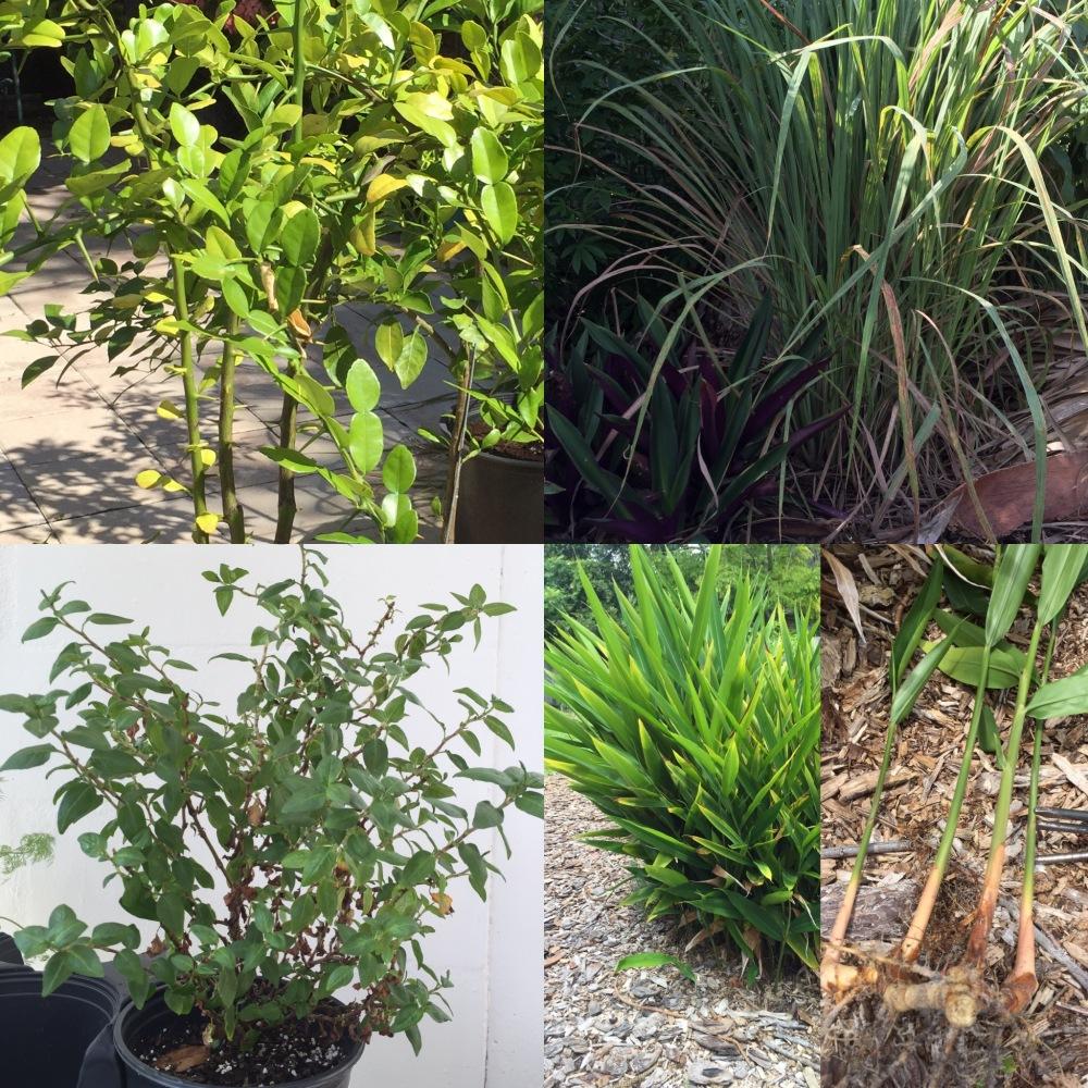 thai-herbs-from-my-garden