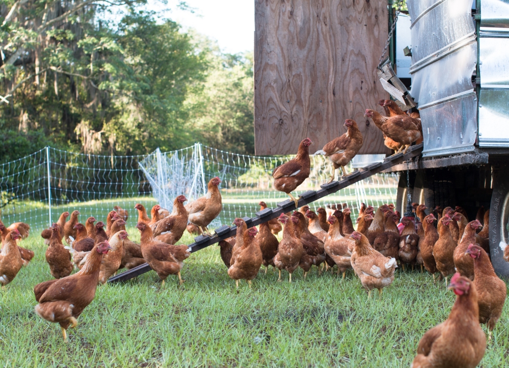 Grove Ladder Farm poultry-8874